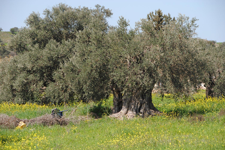 olives_03